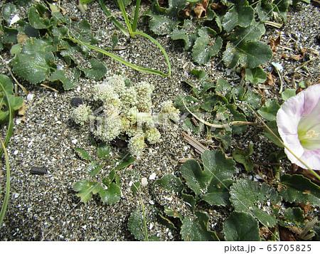 咲き始めた検見川浜のハマヒルガオとハmボウフウ 65705825