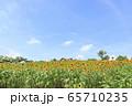 大阪・ハーベストの丘・夏・ひまわり 65710235