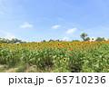 大阪・ハーベストの丘・夏・ひまわり 65710236
