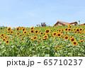 大阪・ハーベストの丘・夏・ひまわり 65710237