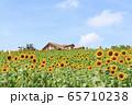 大阪・ハーベストの丘・夏・ひまわり 65710238
