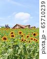 大阪・ハーベストの丘・夏・ひまわり 65710239