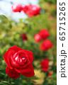 赤いバラ 65715265