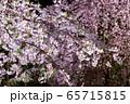 平安神宮 - 紅しだれコンサート  65715815