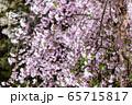 平安神宮 - 紅しだれコンサート  65715817