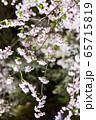 平安神宮 - 紅しだれコンサート  65715819