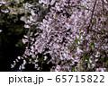 平安神宮 - 紅しだれコンサート  65715822