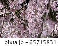 平安神宮 - 紅しだれコンサート  65715831