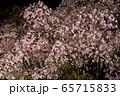 平安神宮 - 紅しだれコンサート  65715833