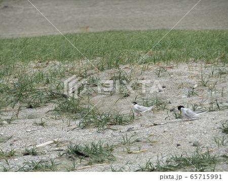 検見川浜の営巣地で抱卵中のコアジサシ 65715991