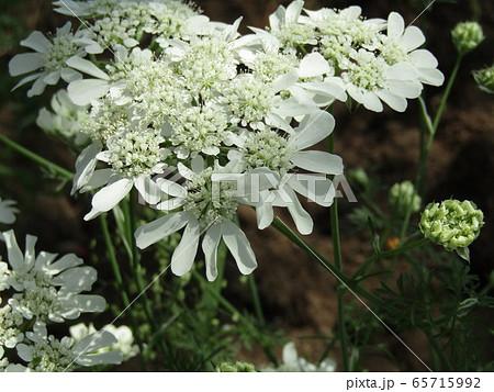 真っ白な綺麗な花はオルラヤの花 65715992