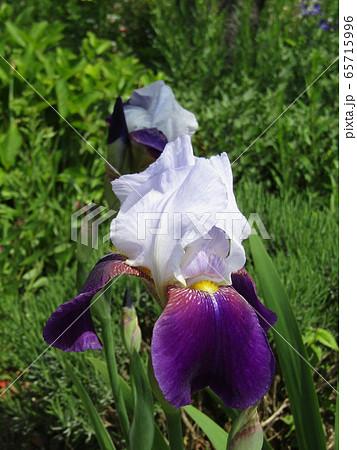 ジャーマンアイリスの白と青色の大きい花 65715996