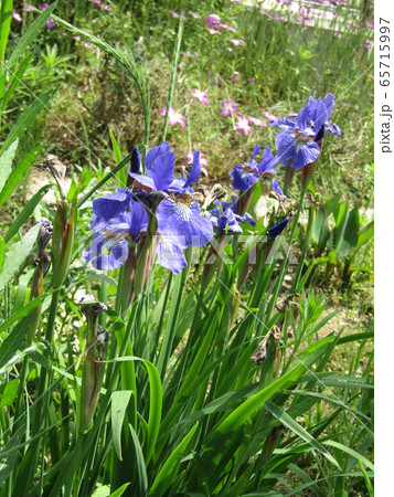 ジャーマンアイリスより小ぶりなアヤメの花 65715997