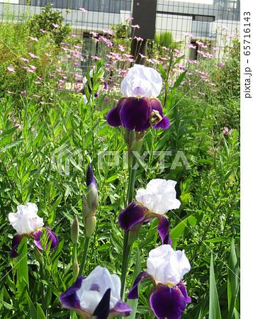 ジャーマンアイリスの白と青色の大きい花 65716143