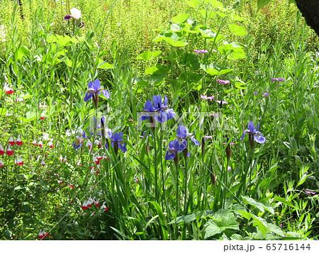 ジャーマンアイリスより小ぶりなアヤメの花 65716144