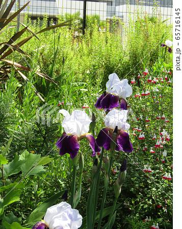 ジャーマンアイリスの白と青色の大きい花 65716145