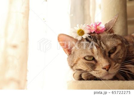 カーテンレース前の花冠猫アメリカンショートヘアシルバーパッチドタビー 65722275