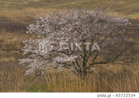 ヨシ焼後のヨシ原に咲く桜 渡良瀬遊水地 65722534