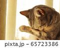 ごめんなさい泣いて悲しむ雰囲気の猫アメリカンショートヘアブルータビー 65723386