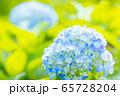 紫陽花 65728204