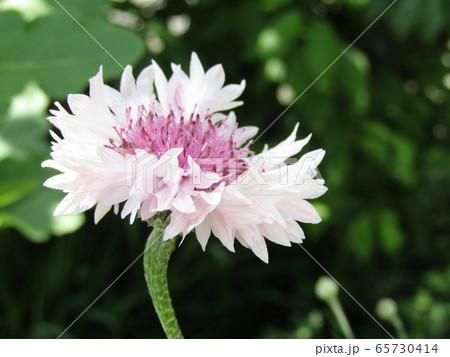 ヤグルマギクの白い花 65730414