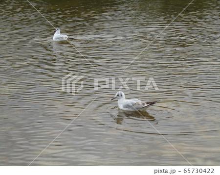 帰り遅れた稲毛海浜公園の池のユリカモメ 65730422