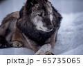 威厳と品格 狼 65735065