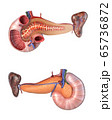 Anatomy human pancreas and duodenum cross section. 65736872