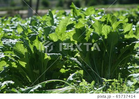 サンパウロ州で栽培されている野沢菜 65737414