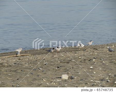 検見川浜の海岸でのコアジサシ 65748735