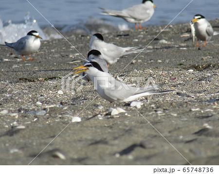 検見川浜の海岸でのコアジサシ 65748736