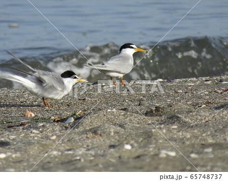 検見川浜の海岸でのコアジサシ 65748737