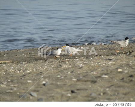 検見川浜の海岸でのコアジサシ 65748739