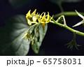 ミニトマトの花 65758031