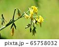 ミニトマトの花 65758032