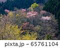 山腹の新緑とヤマザクラ(奈良県) 65761104