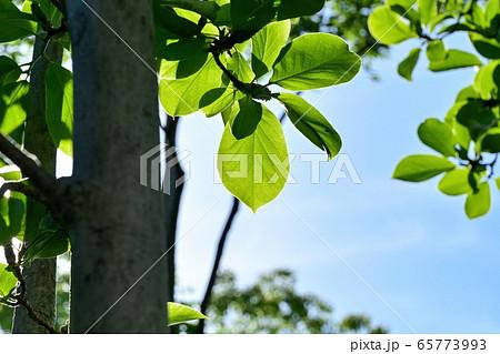 木漏れ日浴びて輝くモクレンの若葉 65773993