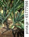 タマネギの栽培 65777986