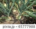 タマネギの栽培 65777988