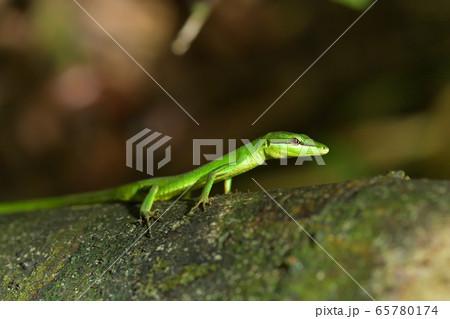 緑色が綺麗なサキシマカナヘビ 65780174