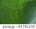 古河総合公園の大賀蓮の葉に張るクモの巣とクモ 65791235