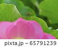 古河総合公園の大賀蓮の花にトンボ 65791239