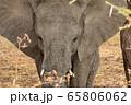 タンザニア・タランギーレ国立公園で見かけたアフリカゾウの後ろ姿 65806062