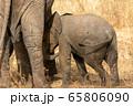 タンザニア・タランギーレ国立公園で見かけたアフリカゾウの後ろ姿 65806090