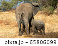 タンザニア・タランギーレ国立公園で見かけたアフリカゾウの後ろ姿 65806099