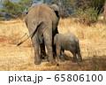 タンザニア・タランギーレ国立公園で見かけたアフリカゾウの後ろ姿 65806100