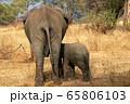 タンザニア・タランギーレ国立公園で見かけたアフリカゾウの後ろ姿 65806103