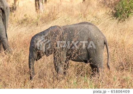 タンザニア・タランギーレ国立公園で見かけたアフリカゾウの子供 65806409