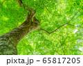 新緑のもみじ 大木 香嵐渓 【愛知県】 65817205