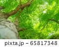 新緑のもみじ 大木 香嵐渓 【愛知県】 65817348